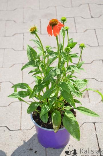 Echinacea 'Prairie Blaze Orange Sunset' (Jeżówka) - C2