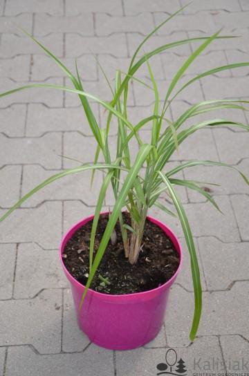 Miscanthus sinensis 'Orange Feder' (Miskant chiński) - C5