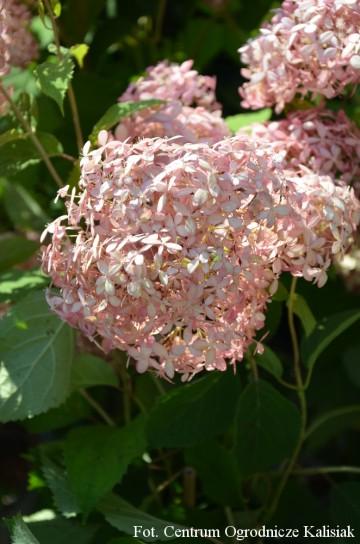 Hydrangea arborescens PINK ANNABELLE 'Spirit' (Hortensja krzewiasta) - C9