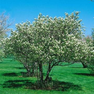 Amelanchier alnifolia 'Prince William' (Świdośliwa olcholistna) - C5 PA
