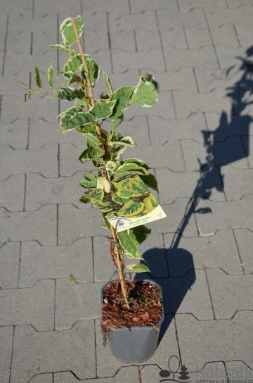 Actinidia arguta HOKEY POKEY (Aktinidia ostrolistna) - C2