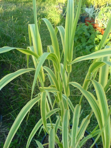 Arundo donax 'Aureovariegata' (Lasecznica trzcinowata) - C7.5