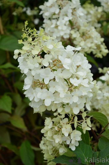 Hydrangea paniculata LIVING STRAWBERRY BLOSSOM (Hortensja bukietowa) - C5 PA