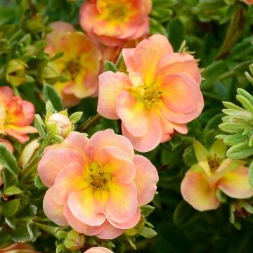 Potentilla fruticosa 'Double Punch Peach' (Pięciornik krzewiasty) - C5