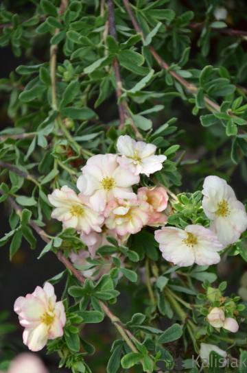 Potentilla fruticosa 'Double Punch Pastel' (Pięciornik krzewiasty) - C5