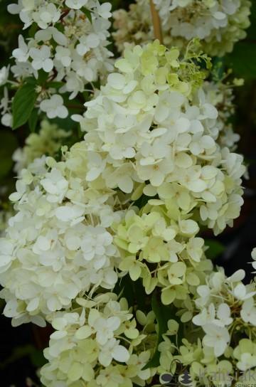 Hydrangea paniculata LIVING STRAWBERRY BLOSSOM (Hortensja bukietowa) - C6