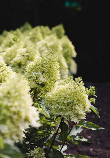 Hydrangea paniculata LIVING ROYAL FLOWER (Hortensja bukietowa) - C6