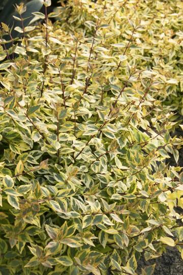 Abelia grandiflora 'Kaleidoscope' (Abelia wielkokwiatowa) - C6