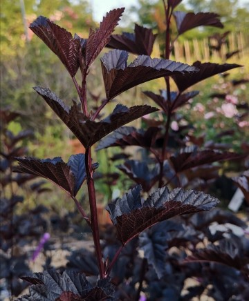 Physocarpus opulifolius BLACK LIGHT 'Minbla 3' (Pęcherznica kalinolistna)  - C5