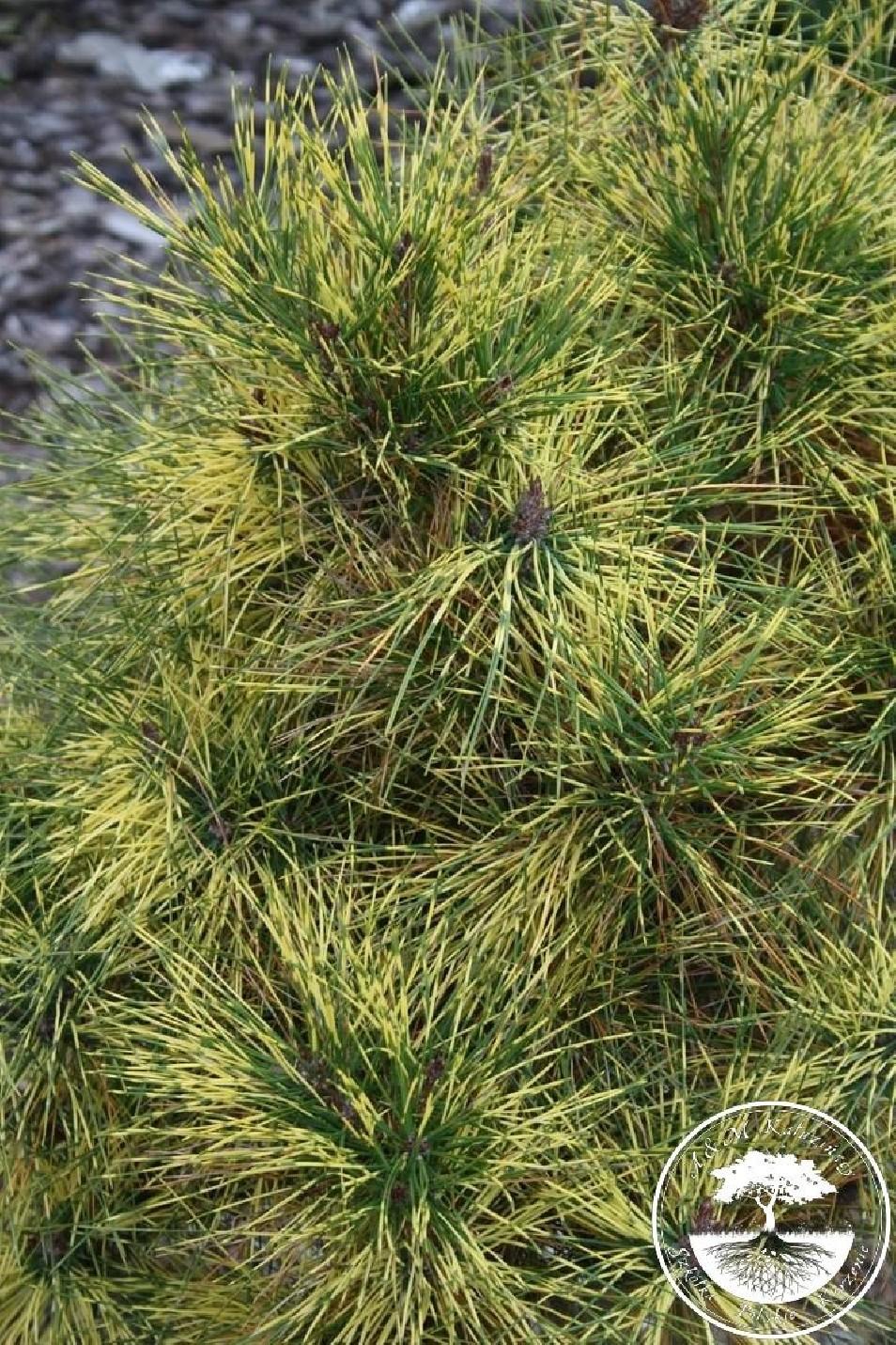 Pinus densiflora 'Golden Ghost'