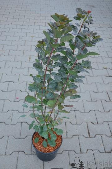 Cotinus coggyria FLAMISSIMO 'Mincofla20' (Perukowiec podolski) - C5