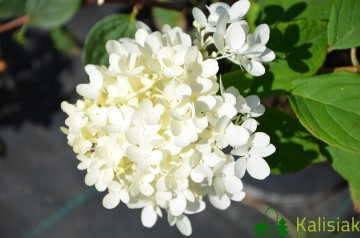 Hydrangea paniculata MAGICAL SWEET SUMMER 'Bokrath' (Hortensja bukietowa) - C6