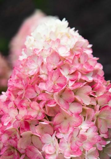 Hydrangea paniculata 'Raspberry Pink' (Hortensja bukietowa) - C6
