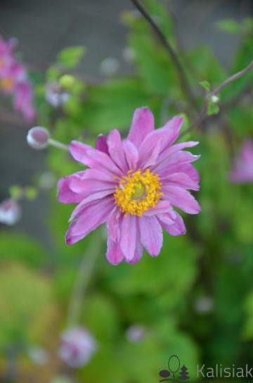 Anemone x hybrida 'Pamina' (Zawilec mieszańcowy) - C5