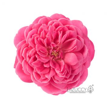 Rosa Incredible 'Fruity Raspberry' (Róża jadalna) - C2