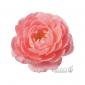 Rosa Incredible 'Spicy' (Róża jadalna) - C2