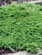 Juniperus horizontalis 'Prince of Wales' (Jałowiec horyzontalny) - C2