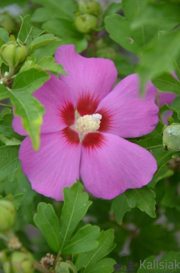 Hibiscus syriacus 'Woodbridge' (Ketmia syryjska) - C3