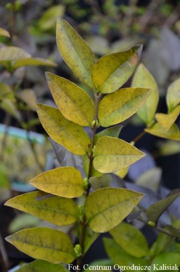 Ligustrum vulgare 'Aureum' (Ligustr pospolity) - C2