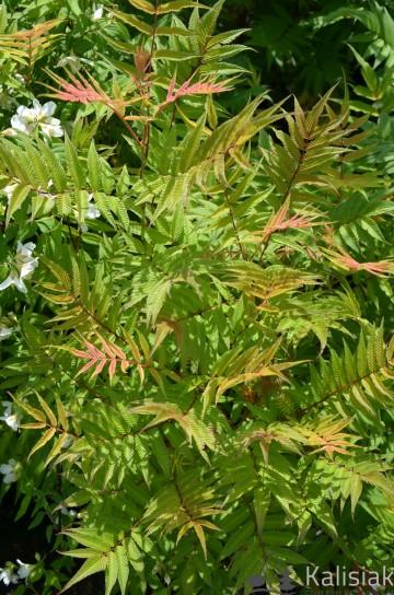 Sorbaria sorbifolia 'Sem' (Tawlina jarzębolistna) - C5
