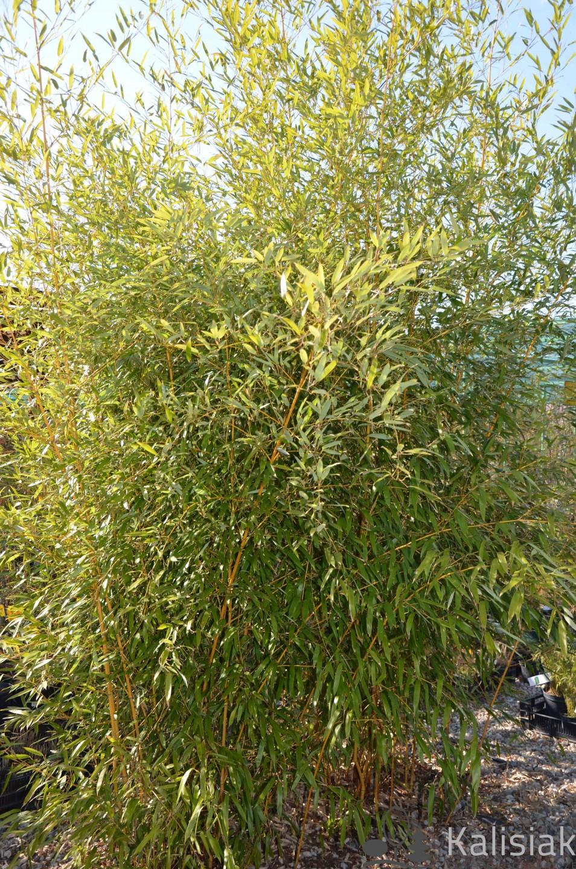 Phyllostachys aureoreticulata f. aureoculis (Bambus złotobruzdowy) - C7.5