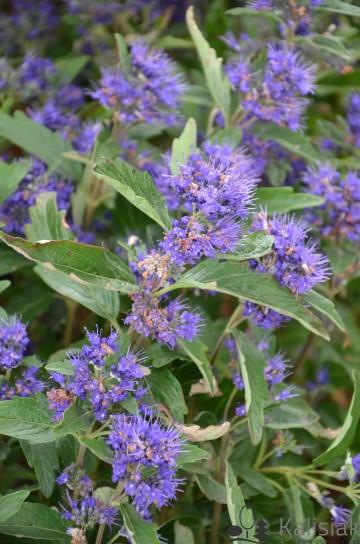 Caryopteris clandonensis GRAND BLUE 'Inoversis' (Barbula klandońska) - C5