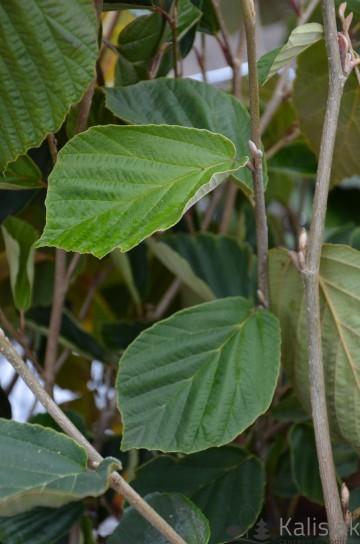Hamamelis japonica 'Zuccariniana' (Oczar japoński) - C5