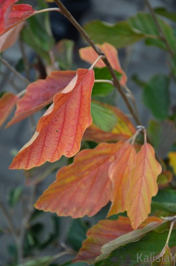 Hamamelis vernalis 'Sandra' (Oczar wiosenny) - C5