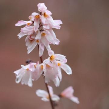 Abeliophyllum distichum 'Roseum' (Abeliofylum koreańskie) - C5