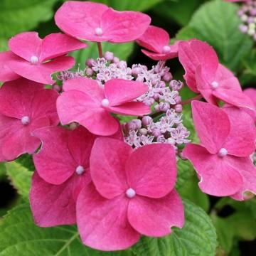 Hydrangea macrophylla 'Teller Rose' (Hortensja ogrodowa) - C3