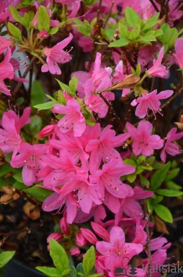 Rhododendron japanese azalea 'Rosalind' (Azalia japońska) - C2