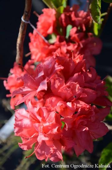 Rhododendron 'Fabiola' (Azalia wielkokwiatowa) - C4