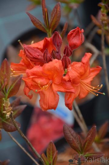 Rhododendron 'Fireball' (Azalia wielkokwiatowa) - C4