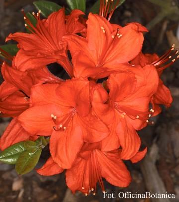 Rhododendron 'Parkfeuer' (Azalia wielkokwiatowa) - P16 PA
