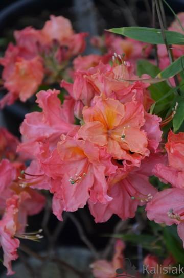 Rhododendron 'Sarina' (Azalia wielkokwiatowa) - C4