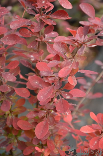Berberis ottawensis 'Auricoma' (Berberys ottawski) - C7,5
