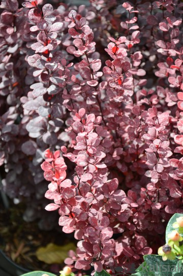 Berberis thunbergii 'Orange Rocket' (Berberys Thunberga)  - C3