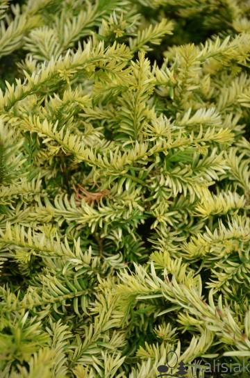 Taxus baccata 'Elegantissima' (Cis pospolity) - C2