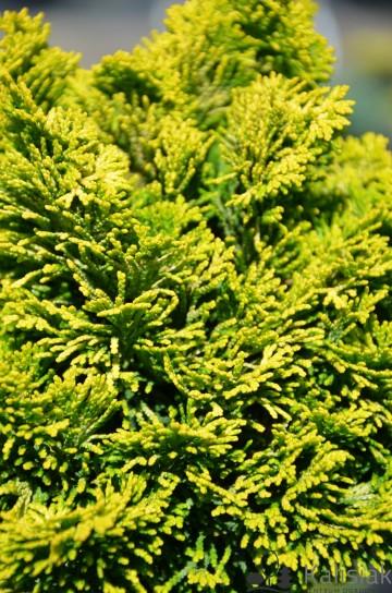 Chamaecyparis obtusa 'Aurora' (Cyprysik tępołuskowy) - C5