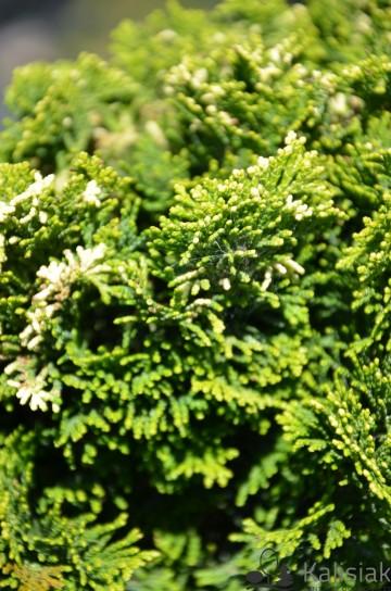 Chamaecyparis obtusa 'Tonia' (Cyprysik tępołuskowy) - C5