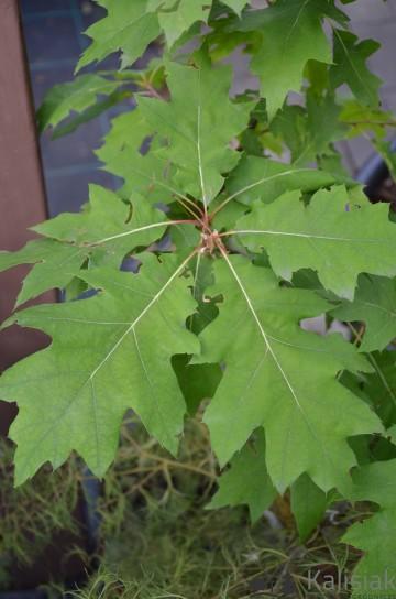 Quercus rubra (Dąb czerwony) - C5