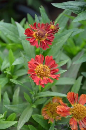 Helenium autumnale 'Mariachi Ranchera' (Dzielżan jesienny) - C2