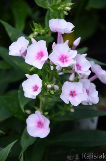 Phlox paniculata 'FLAME PRO SOFT PINK' (Floks wiechowaty) - C1.5