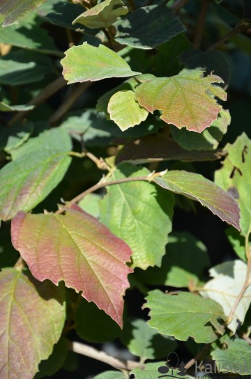 Fothergilla gardenii 'Suzanne' (Fotergilla olszolistna) - C2