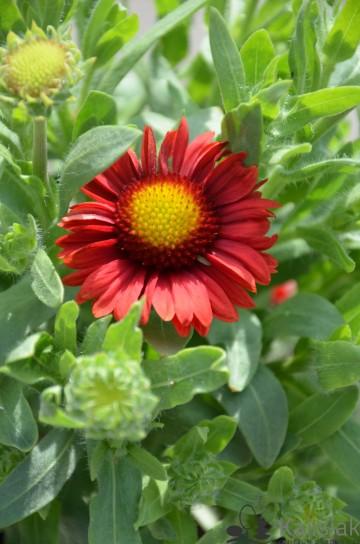 Gaillardia 'Arizona Red Shades' (Gailardia) - C2