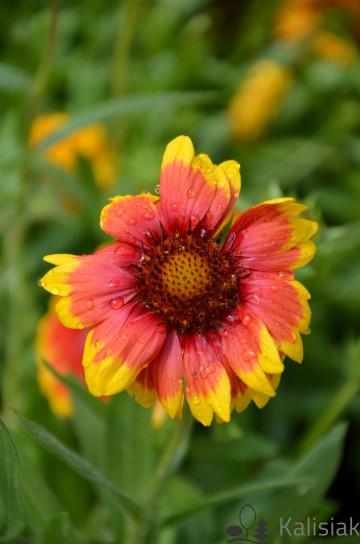 Gaillardia aristata 'Arizona Sun' (Gailardia ogrodowa) - C2
