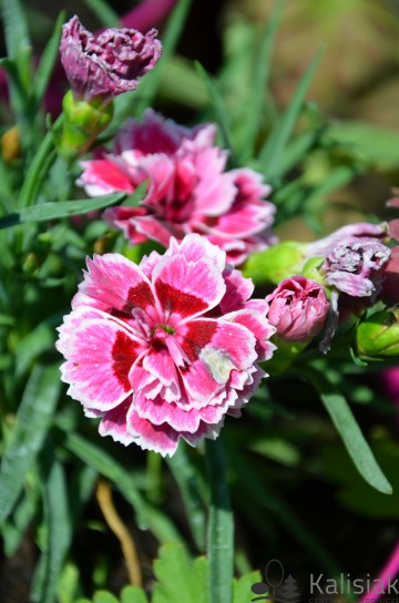 Dianthus 'Sunflor Estar' (Goździk ogrodowy) - C2