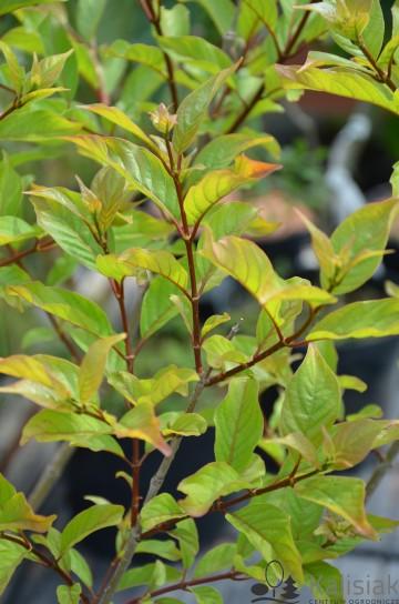 Cephalanthus occidentalis (Guzikowiec zachodni) - C5