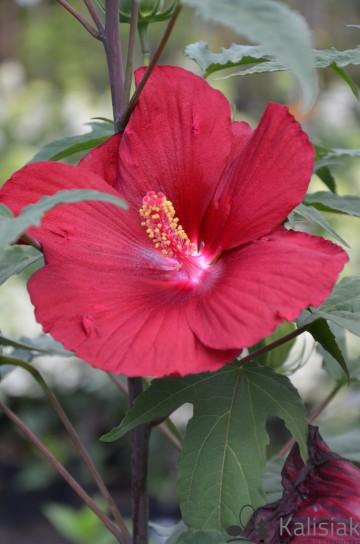 Hibiscus Summerific 'My Valentine' (Hibiskus bagienny) - C5