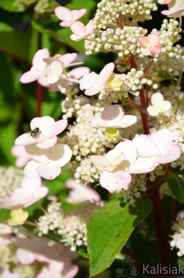 Hydrangea paniculata 'Baby Lace' (Hortensja bukietowa) - C7.5